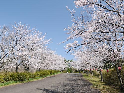 桜の安土山公園