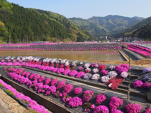 横津海の芝桜